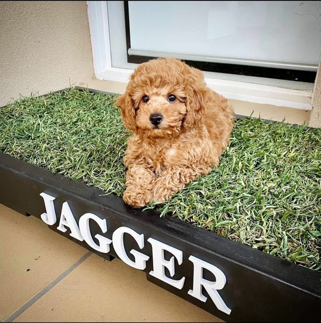 small cavoodle sitting on poopie pallet