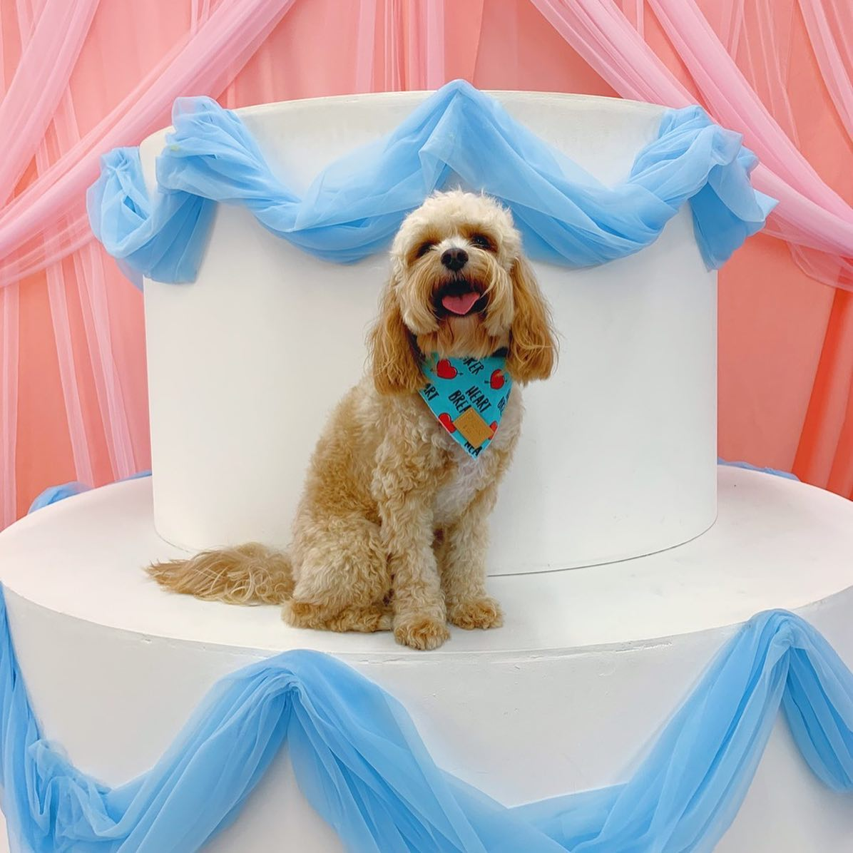 cavoodle sitting on tier of large scale model wedding cake