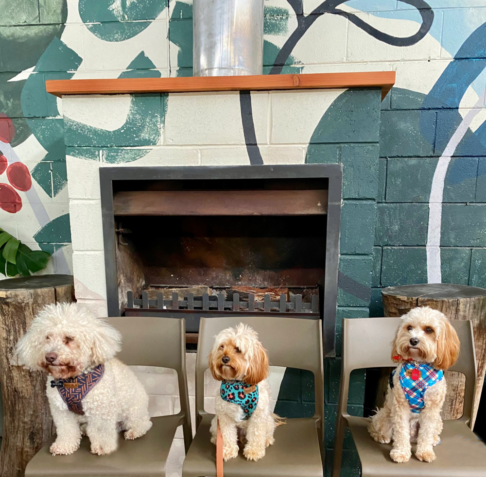 one white bichoodle and two apricot cavoodles sitting on a row of chairs