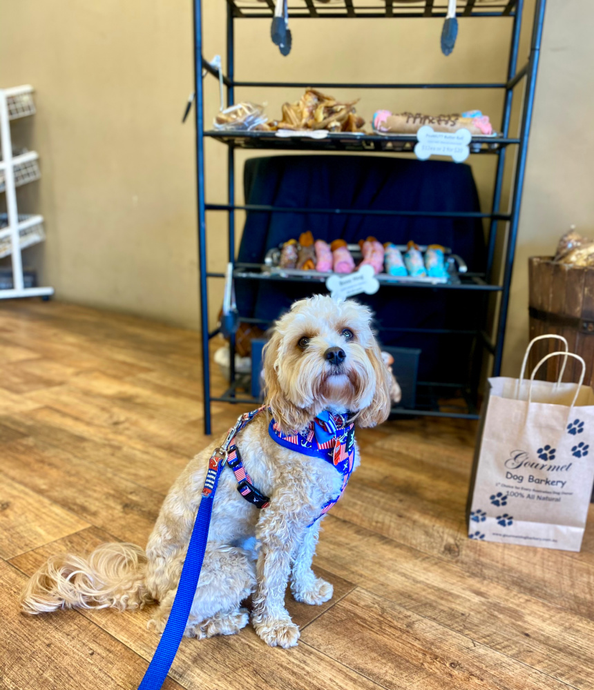 cavoodle sitting in front of a display of doggy treats