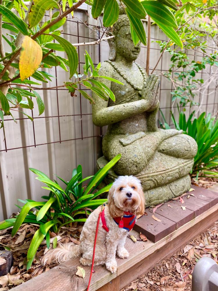 cavoodle sitting next to buddha statue in zen garden