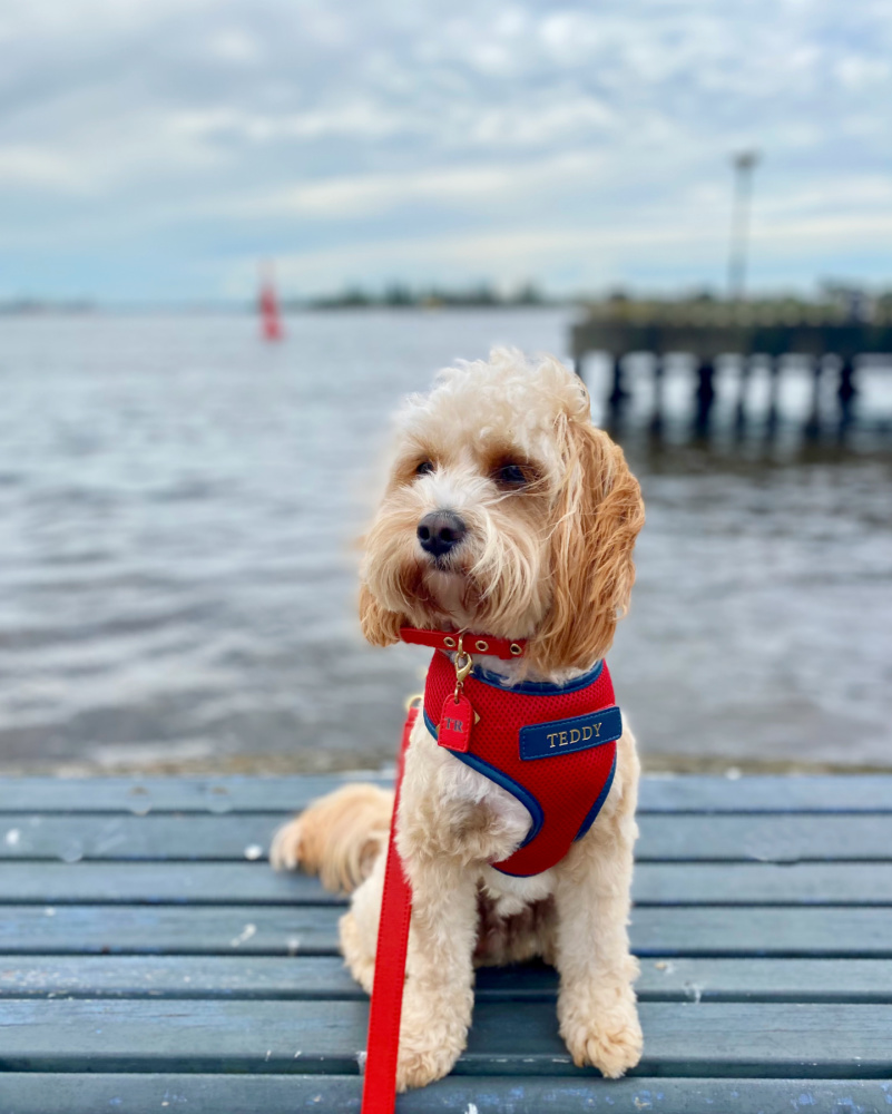 cavoodle by newcastle harbour
