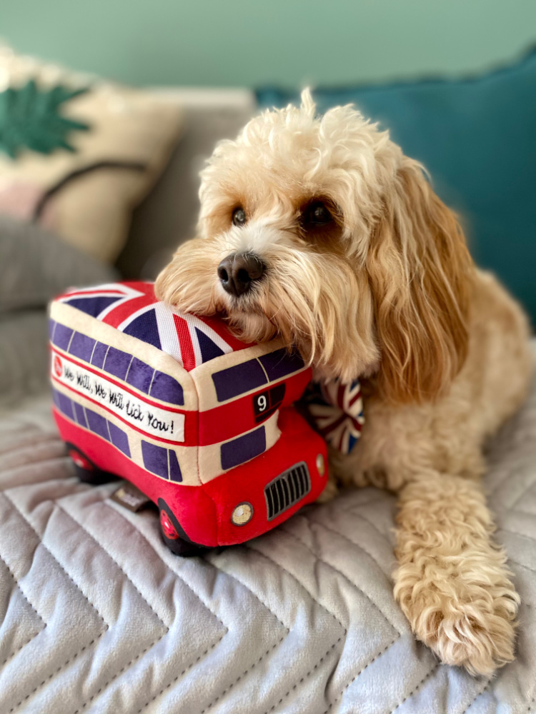 cavoodle resting on london bus toy
