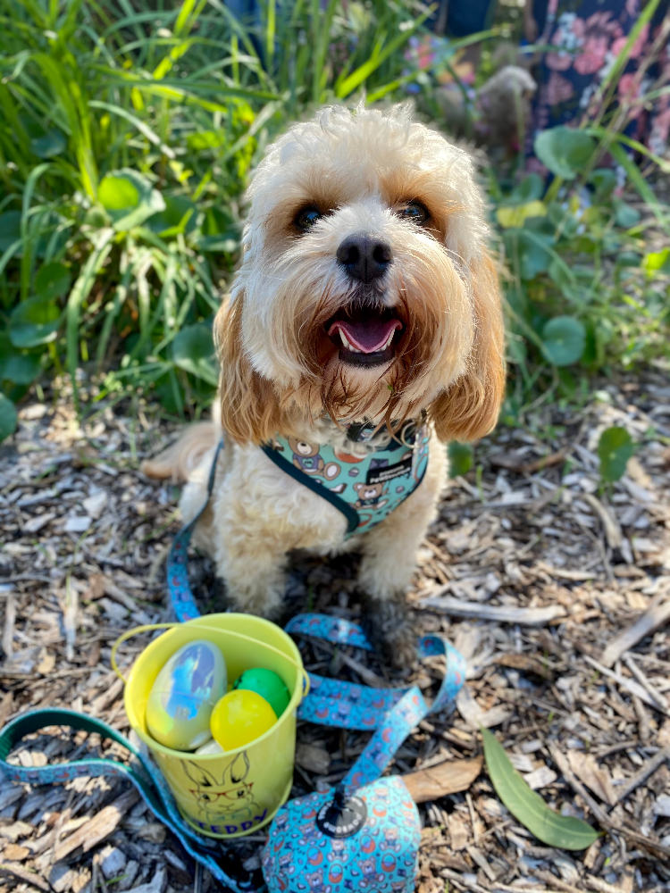 toy cavoodle with bucket of easter eggs