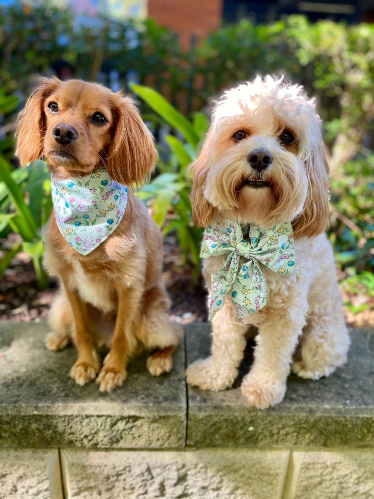 one straight and one curly cavoodle wearing matching easter bandana and bow