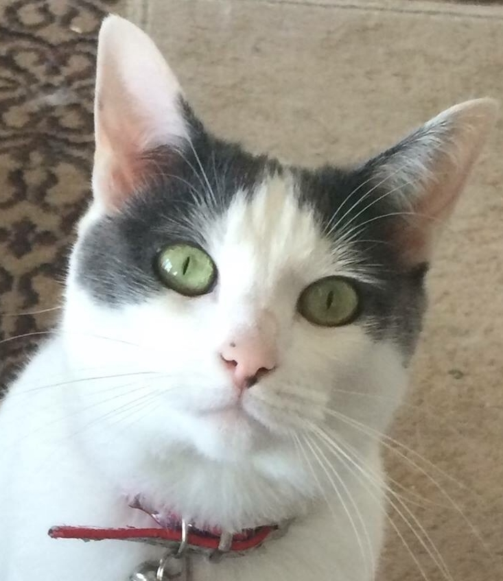 white cat with black face and green eyes