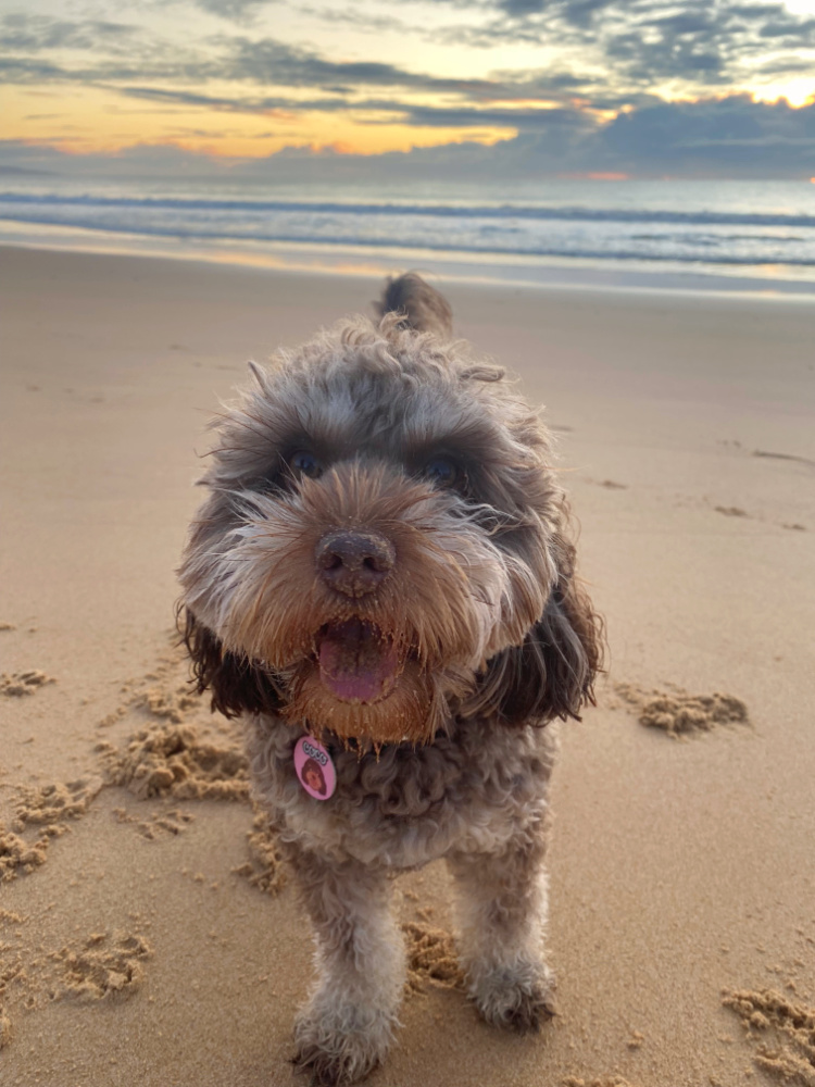 close up of brown cavoodle on beach at sunset