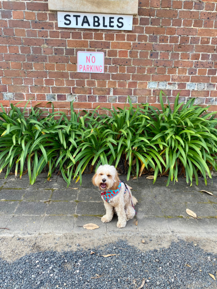 dog sitting outside old stables at coolongatta estate