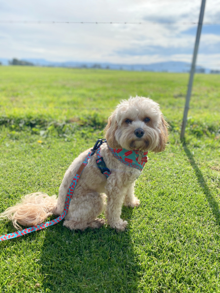 cavoodle sitting in front of wire fence with dairy pasture beyond
