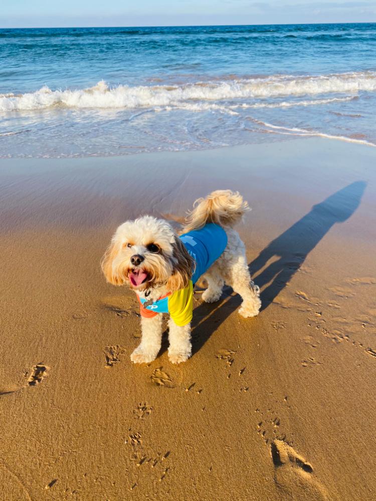 dog wearing lifesaver rashie on beach