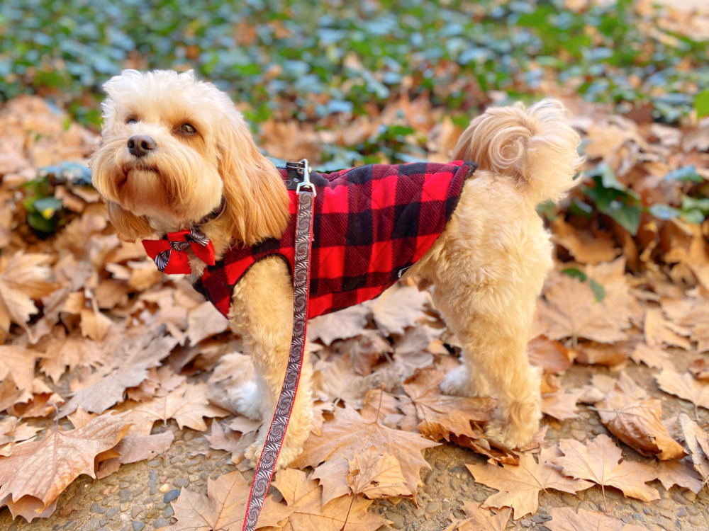 cavoodle wearing red and black plaid jacket