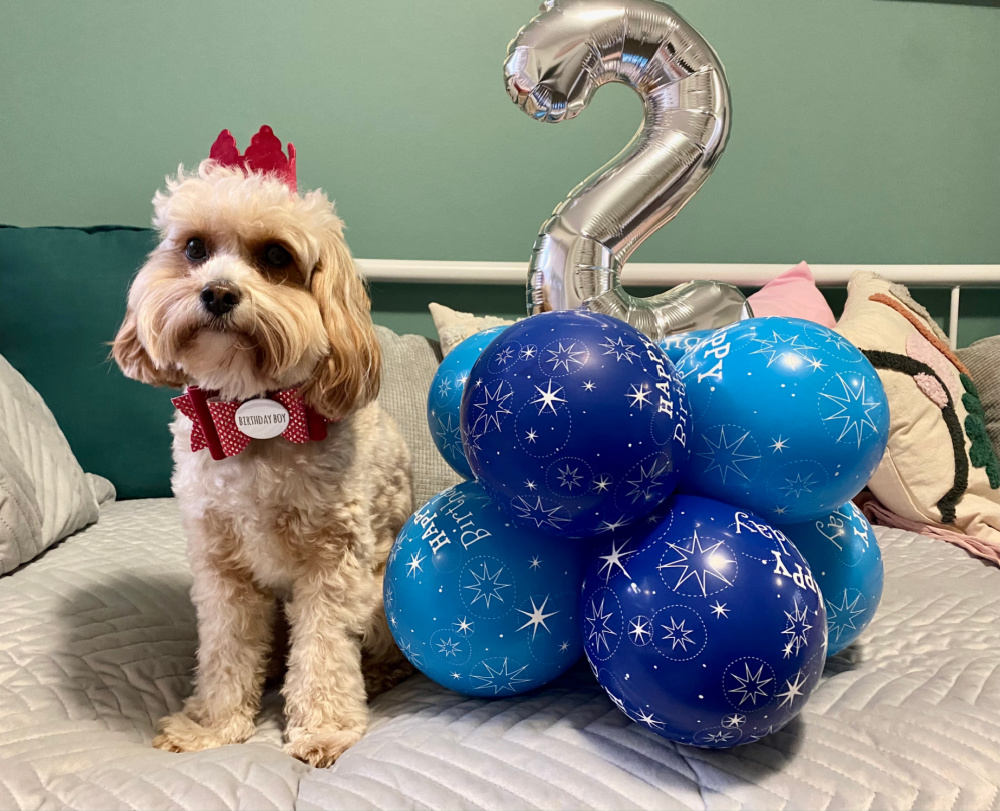 cavoodle wearing a red birthday crown and red bow saying birthday boy sitting next to a silver number two balloon