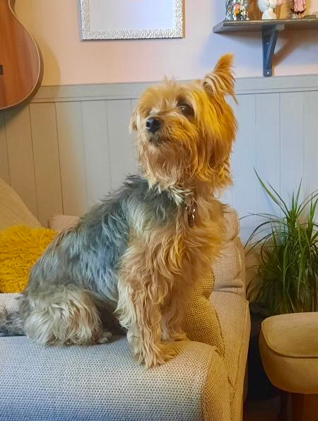 Yorkshire Terrier sitting on a sofa